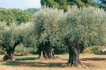 01- Majesté d'oliviers centenaires